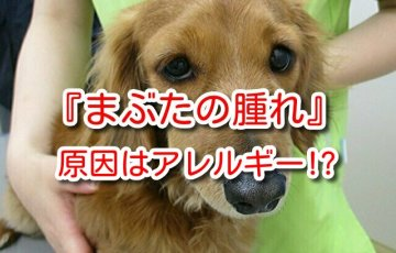 犬 まぶた 腫れ