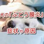 犬 ぶどう膜炎