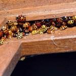 Asian-Lady-Beetle-congregation