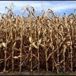 drought_stricken_corn_university_of_nebraska-lincoln-600×400