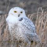 2016-01-02 Snowy Owl SNOW Wallaceburg blog