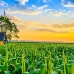 corn-field-and-farm