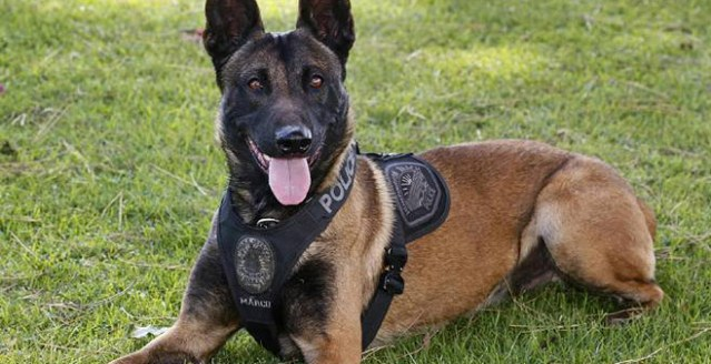 "MARCO, a K-9 ""officer,"" has been credited with the arrest of a burglary suspect in Huntington Beach Saturday evening (HBPD photo)."