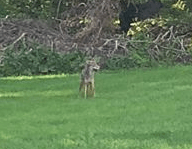 Coyote Sighting on Old Tavern Road