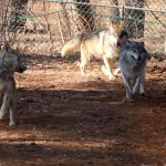 It's Happening At the Zoo: Meet The Two New Mexican Wolves