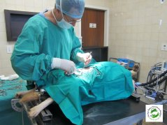 Dr Keith MacWilliam performing a spay on one of the dogs from the Animal Allies Spay Day campaign.