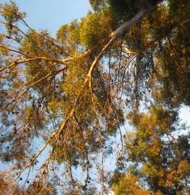 tree-with-gumnuts