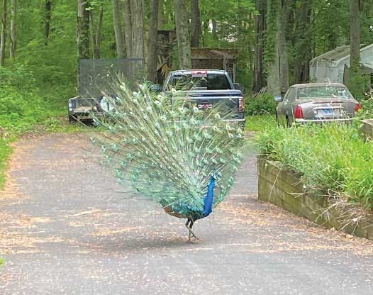 Wild Peacock In Town