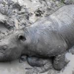 Selamat jalan Iman, kini tiada lagi badak sumbu Sumatera di Malaysia…