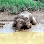 70 biji peluru dalam badan gajah, ganjaran RM30K kepada pemberi maklumat