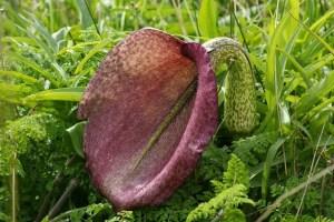 Helicodiceros Muscivorus