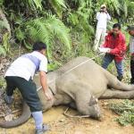 Isu Kematian Gajah di Sabah, gajah diburu kerana dipercayai bawak tuah
