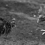 """Sejarah Sabah yang ramai tak tahu, pernah perang saudara kerana """"sabung ayam"""""""