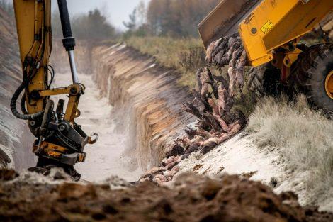 Disposing Of Dead Mink In A Military Area Near Holstebro In Denmark