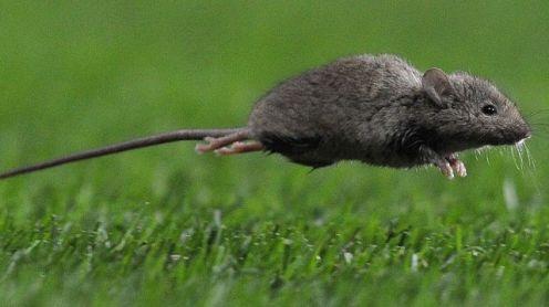 tikus australia