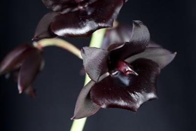 Greyhawk_A-Orquídea A Orquídea Negra