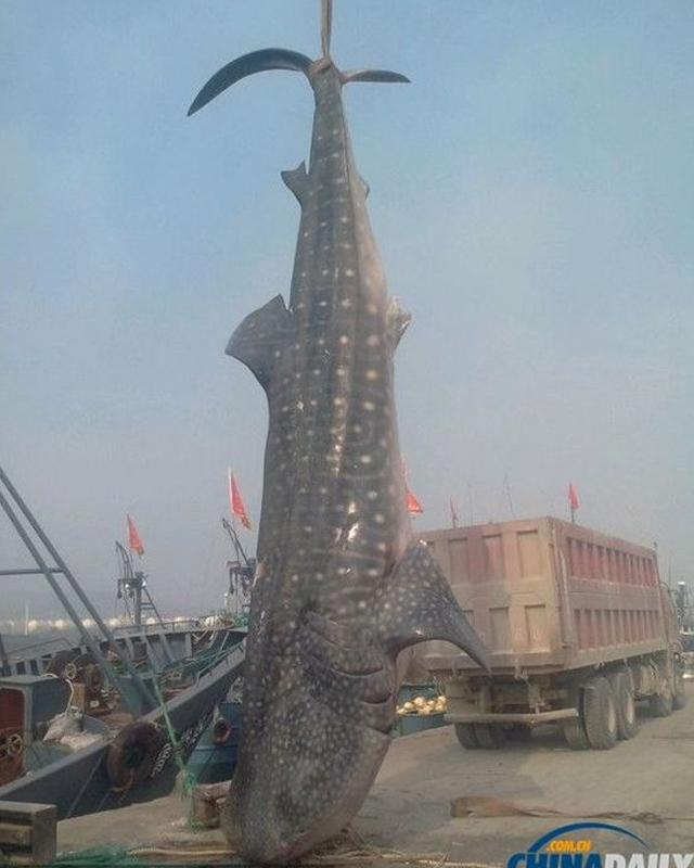 massive-shark2