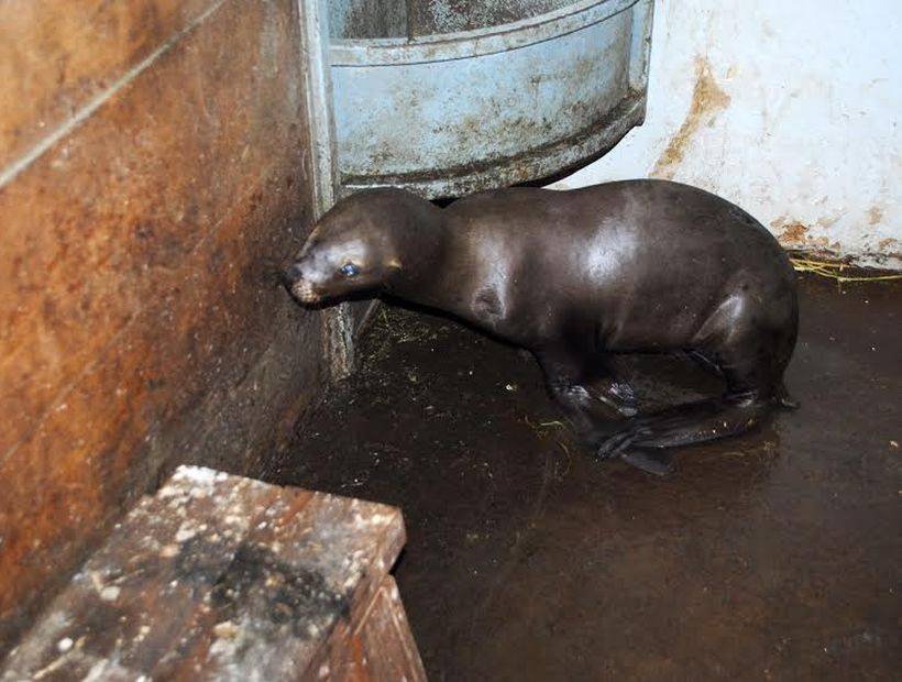 Se buscan criminales que atacaron brutalmente a lobo marino en Talcahuano