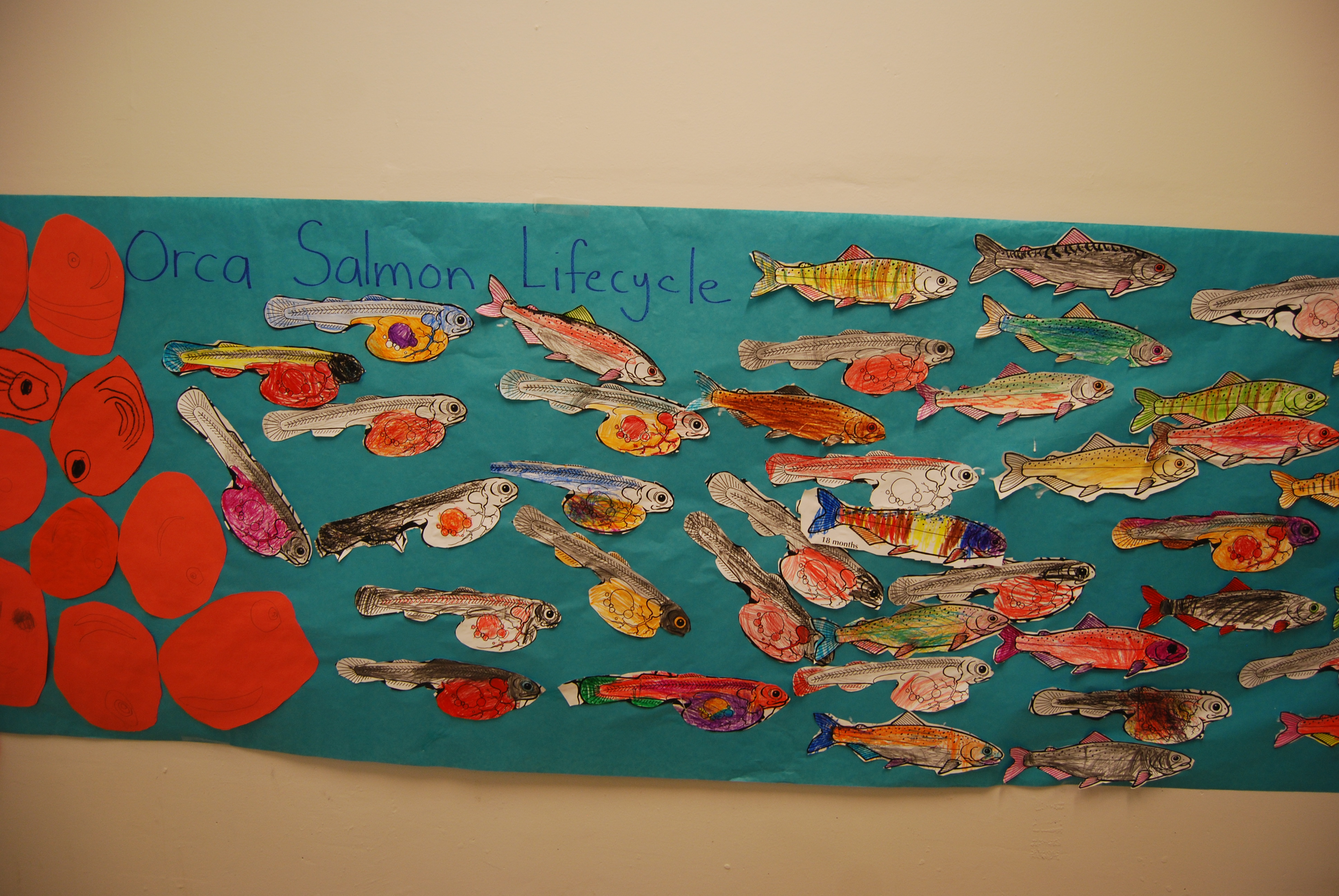 Salmon Life Cycle Poster In Kindergarten Hallway