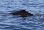 There are sperm whales (Physeter macrocephalus) galore out in Bremer Canyon. Image taken under scientific permit.