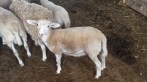 Lamb_4
