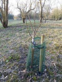 tree-103-pear-invincible.jpg