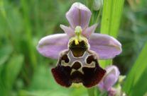 Ophrys Frelon