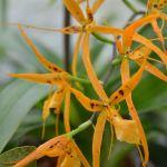 Brassada mivada - orchidee 60