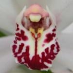 Cymbidium insigne - orchidee 60 - macro