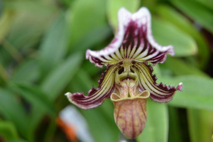 Paphiopedilum fairrieanum - orchidee 60