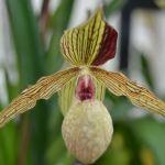 Paphiopedilum harold koopowitz - orchidee 60