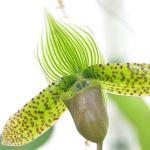 Paphiopedilum maudiae sukhakulli - orchidee 60