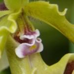 Paphiopedilum spicerianum - orchidee 60 - macro