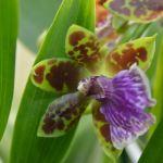 Zygopetalum - orchidee60