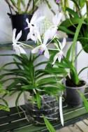 Encyclia - orchidée 60