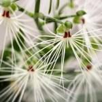 Habenaria medusae - orchidée 60