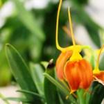 Masdevalia Marguerite - orchidée 60