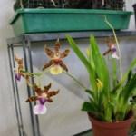 Miltonia clovesii - orchidée 60