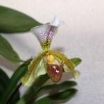 Paphiopedilum - orchidée 60