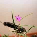Sophronitella violacea - orchidée 60