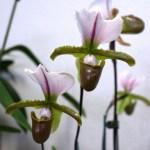 Paphipédilum Hybride - orchidée 60