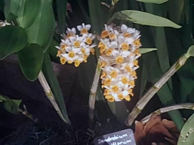 Dendrobium Densiflorum - kühl zu haltende Orchidee