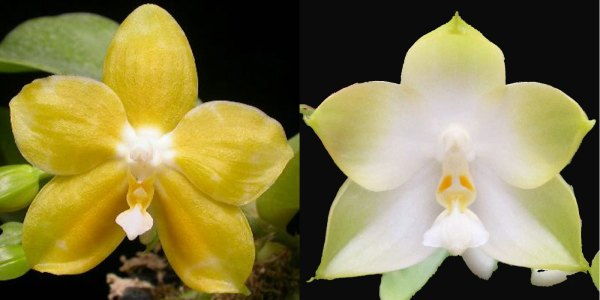 Phal. Tsay´s Evergreen