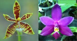 Phalaenopsis Jungpflanzen kaufen