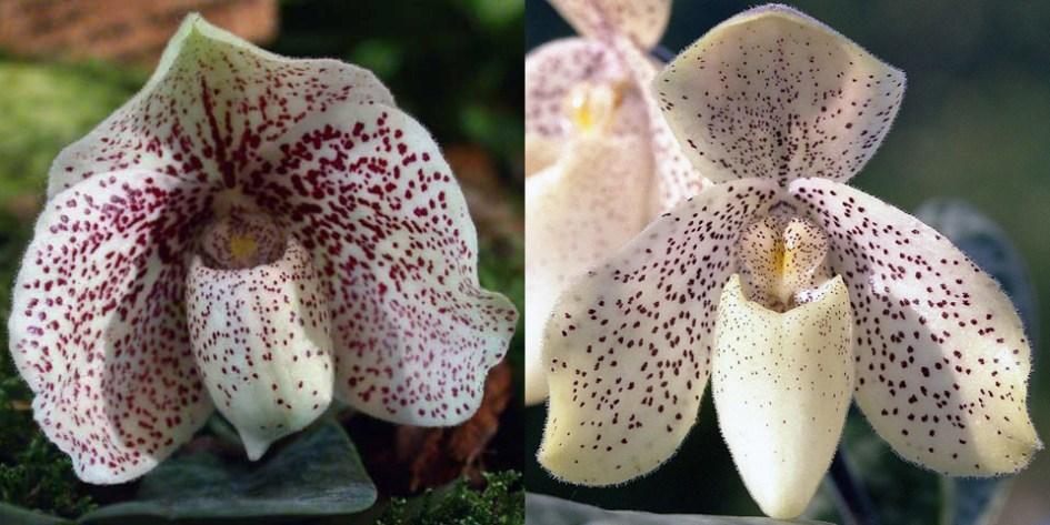 Paphiopedilum godefroyae x concolor