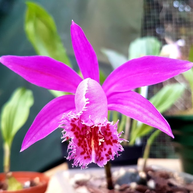 "Pleione mandalay ""Purple Rain"""