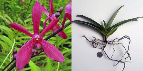 Aranthera Jungpflanze zu verkaufen