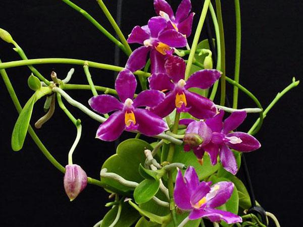 Angebot Phalaenospsi Jungpflanzen kaufen