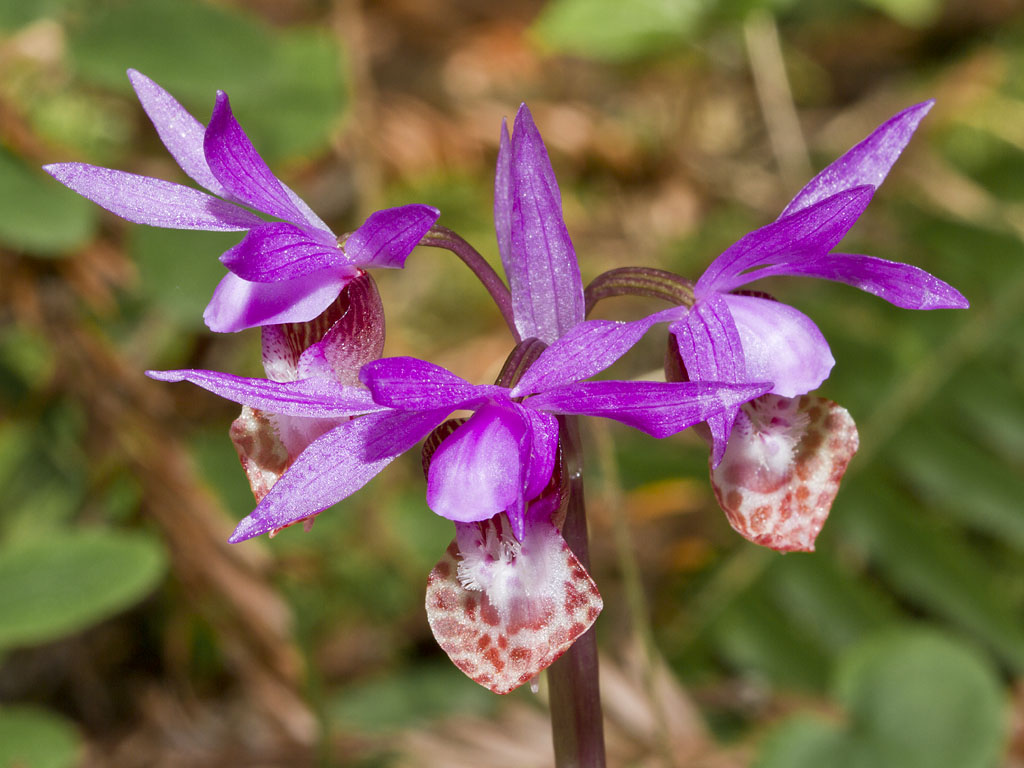 Dancing Light Spirit - Calypso bulbosa var. occidentalis