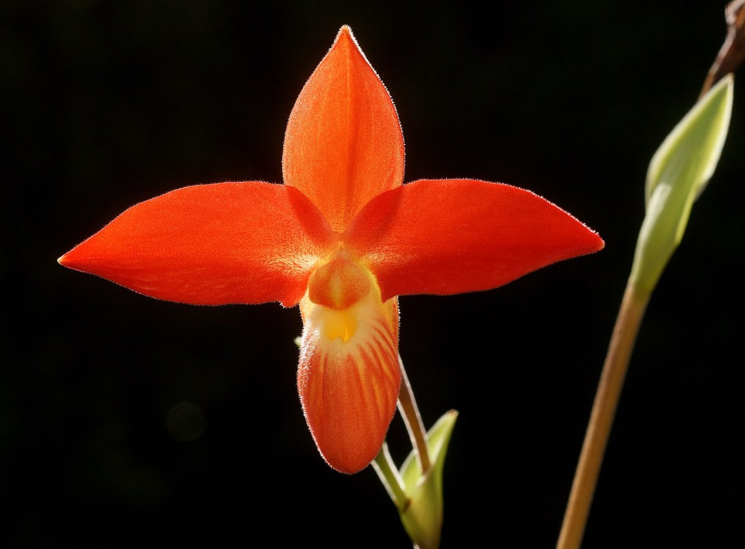 Radiant Strength - Phragmipedium besseae